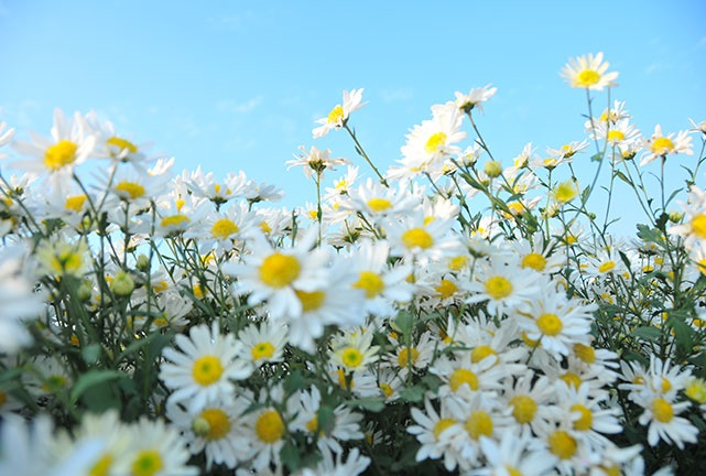 cuc hoa mi trang