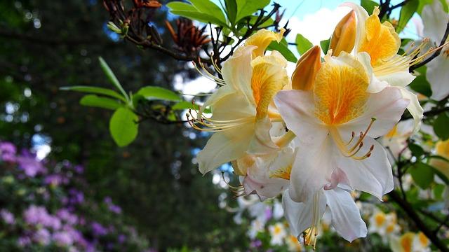 hoa do quyen