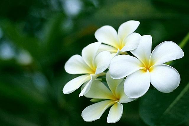 hoa su trang