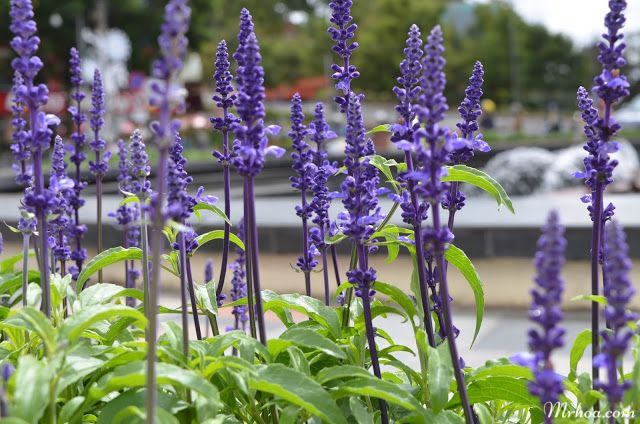 hoa nu hoang xanh