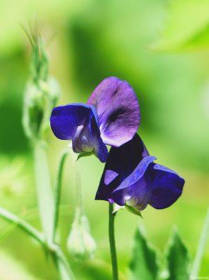 y nghia hoa dau biec