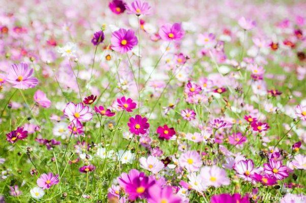 cach trong hoa sao nhai