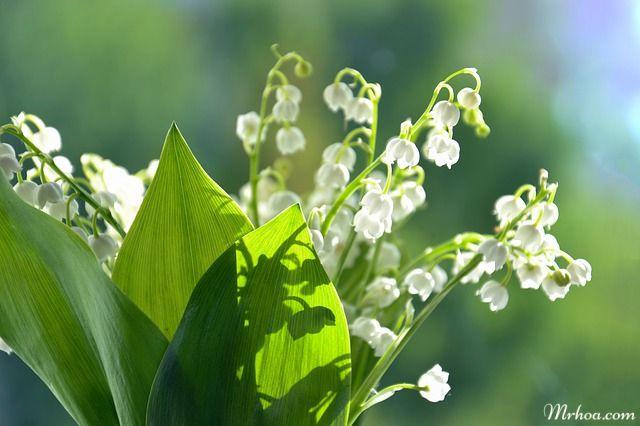 cong dung hoa linh lan