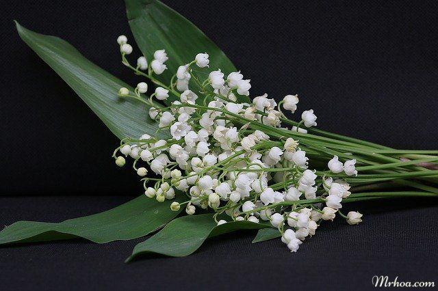 hoa linh lan trang