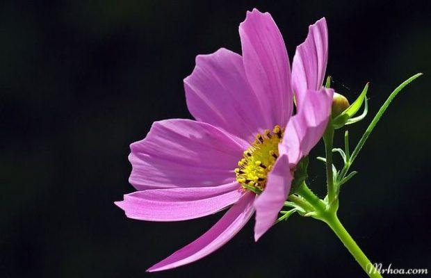 hoa sao nhai
