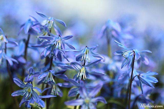 trong hoa chuong xanh