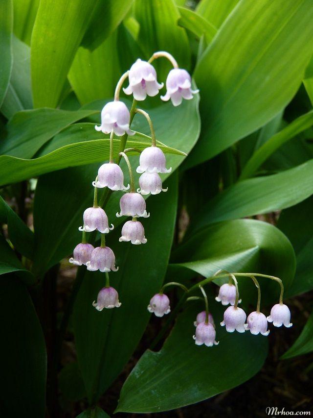 y nghia hoa linh lan