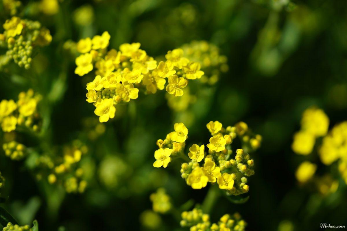 hoa ngan sao vang